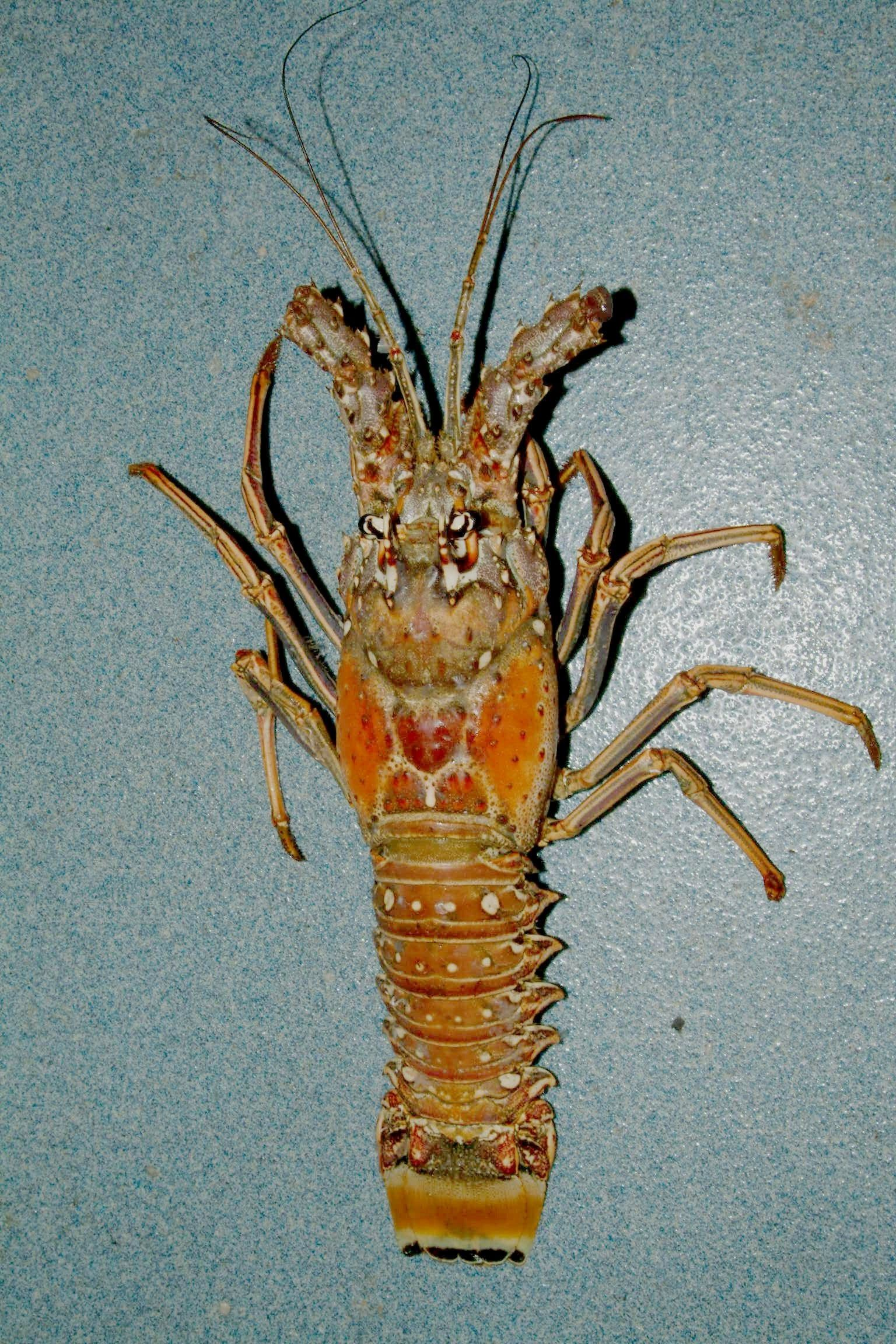 This is a lobster