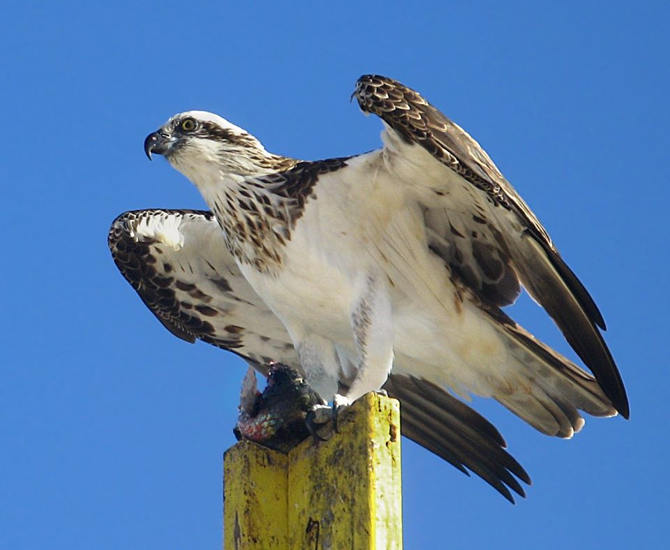 This is an osprey, a bird of prey protected by law.