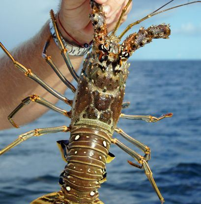 This is a spiny lobster