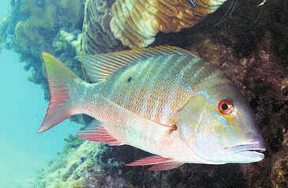 This is a mutton snapper